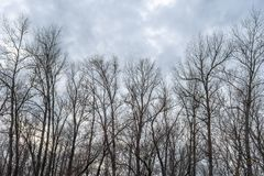 Silhouette of a tree against a sky. Silhouette of a trees against a cold winter sky with the clouds. The bare branches against the cloudy sky royalty free stock images