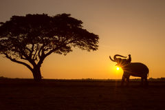 Silhouette tree animal elephant and mahout man stock photography