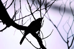 Silhouette tree and bird and lavender sky Stock Photos