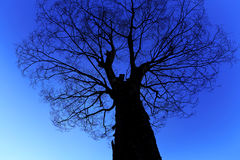 Silhouette tree on blue background. Silhouette tree in night and blue background royalty free illustration