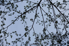 Silhouette of tree. On blue sky Royalty Free Stock Photo