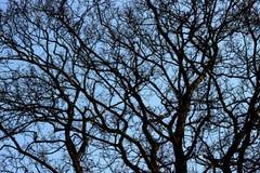 Silhouette tree on blue sky Royalty Free Stock Image