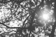 Silhouette of tree branch. Idyllic sunlight and tree leaves in black and white mode Stock Photos