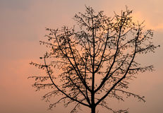 Silhouette tree branch in sunset Stock Images