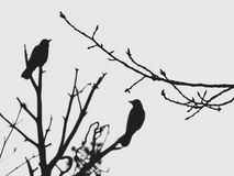 The silhouette of the tree branches on the background of two birds sitting on a pine tree. Stock Photography