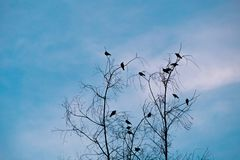 Silhouette tree branches and and birds. On evening and blue sky Stock Photography