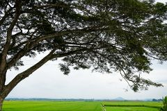 Silhouette of a tree canopy at the paddy rice field Stock Photography