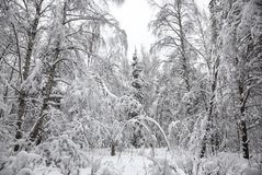 Beautiful winter snow-covered forest. Snow-covered and icy trees Royalty Free Stock Images