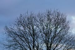 Silhouette of tree crest with birds against evening sky. Silhouette of bare tree crest with birds sitting in it against blue evening sky with soft clouds Stock Photos