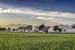 Silhouette of tree in the edge of vast rice field. Behind it is line of mountain, hill, cloud and sun Stock Image