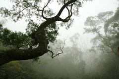 Silhouette of Tree in the Forest Mist Royalty Free Stock Images