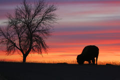 Silhouette of tree and lonely bison. Black silhouette of tree and lonely bison eating grass in Roosevelt National Park in North Dakota at sunset Royalty Free Stock Image