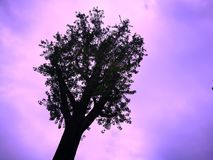 Silhouette of a tree on purple and pink background. Copy space for add text is on the right. Use as background, backdrop, image montage in concept of mystery Royalty Free Stock Image