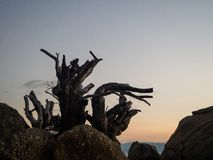 Silhouette of tree roots on the beach at sunset stock photos