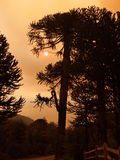 Silhouette of a tree in the smoke from forest fire Stock Photos