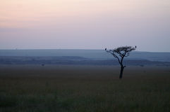Silhouette of a tree with two birds. On the savanna of Kenya during sunrise Stock Photo