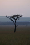 Silhouette of a tree with two birds. On the savanna of Kenya during sunrise Royalty Free Stock Images