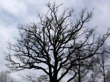 silhouette treen Royaltyfri Foto