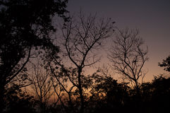 Silhouette trees abstract. Silhouette trees in the winter evening sky Stock Photos