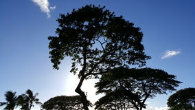 Silhouette of trees. Black trees in the maui sky Royalty Free Stock Photos