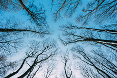 Silhouette Of Trees Branches In Winter On Background Of Blue Sky Stock Photos