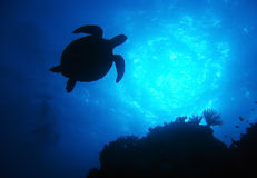 Silhouette turtle,great barrier reef,australia. Green turtle swimming,great barrier reef, cairns, queensland, australia pacific loggerhead royalty free stock image