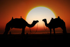Indian Sunset. A silhouette of two camels looking at the huge setting sun on a beach Stock Images