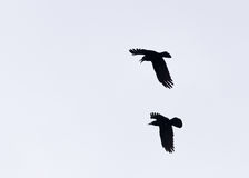 Silhouette Of Two Crows Chasing. Two crows in flight against a plain background, one chasing the other his wings spread and beak open if if hes about to swoop to Stock Image