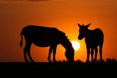 Silhouette of two donkeys and sun on sunset Stock Photos