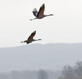 Silhouette of two flying crane birds, mountains in background Royalty Free Stock Image