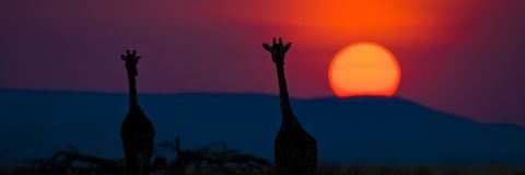 Silhouette of two giraffes watching large sun set in Africa. East Africa Wildlife and Scenery Royalty Free Stock Photo