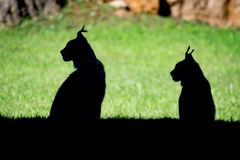 Silhouette of two lynx sitting in profile Stock Images