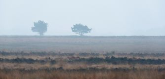 Silhouette of two pine trees in misty heather landscape. Silhouette of two pine trees in a misty heather landscape Royalty Free Stock Photo