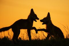 Silhouette of two playing foxes at sunset stock photo