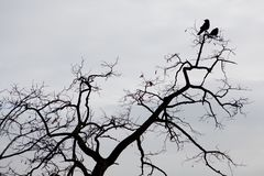 Silhouette of two ravens sitting on a tree branche royalty free stock image