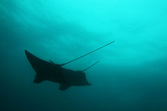 Silhouette of two stingrays above. Silhouette of two stingrays from below Stock Photography
