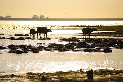 Silhouette view of buffalo Stock Photography