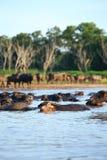 Silhouette view of buffalo Stock Photo