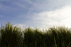 Silhouette view grass Royalty Free Stock Photos