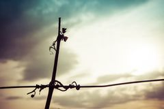 Silhouette of vine crook on wire in the sunset with cloudy sky. Silhouette of vine crook on wire  in the vineyard in the sunset with cloudy sky. Space in right Royalty Free Stock Photos