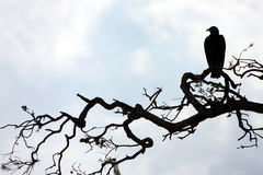 Silhouette of Vulture. Silhouette of a Black Vulture perching on a tree branch.  Myakka River State Park in Florida Stock Image