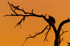 Silhouette of vulture on dead tree Royalty Free Stock Image