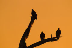 Silhouette of vultures on dead tree Royalty Free Stock Photography