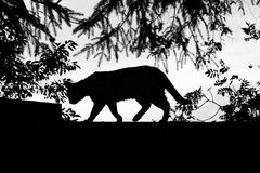 Silhouette of a walking cat Royalty Free Stock Images