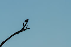 A silhouette of the Waxwing Royalty Free Stock Images