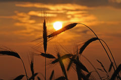 Silhouette of wheat Stock Photo