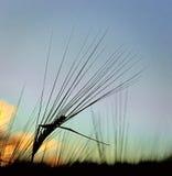 Silhouette of wheat Stock Photos