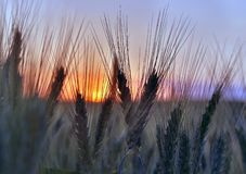 Silhouette of wheat ears after sunset closeup. The silhouette of wheat ears after sunset closeup Stock Images