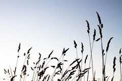 Silhouette of a wheat farm. At early morning time Royalty Free Stock Image