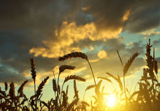 Silhouette of a wheat field Stock Photography
